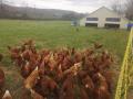 Les poules de BioSoleil