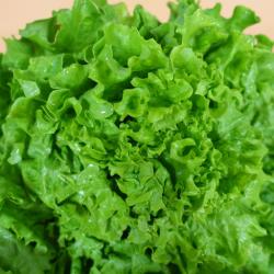 Salade-batavia-PSS31