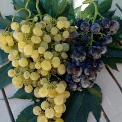 Barquette de raisins rouges et blancs - 1.5kg  Variétés selon la maturité des raisins